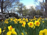 Daffodil Hill Offers a Sea of Daffodils
