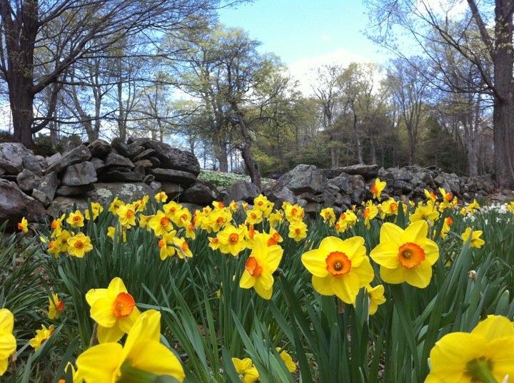 Daffodil Hill Offers a Sea ofDaffodils